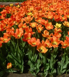 May 3: Pella Tulip Festival
